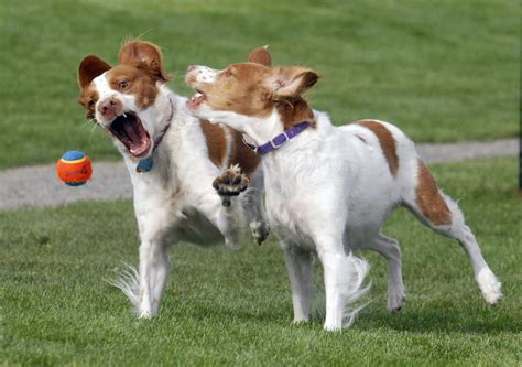 oregonlive puppies hillsboro association and scout partner to raise money for hondo park