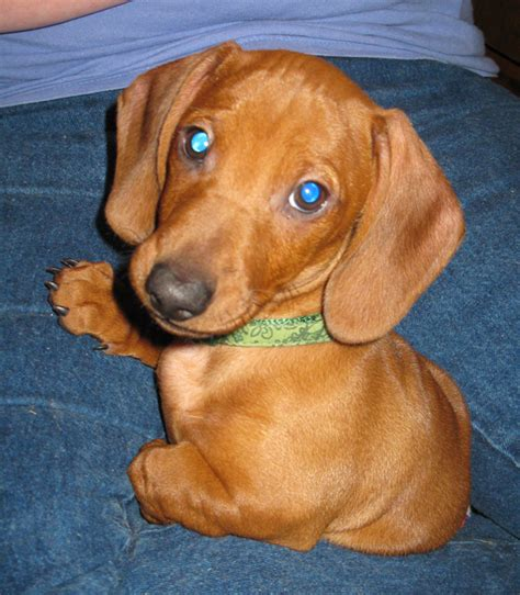 puppies for sale in lafayette la dachshund mix an adoptable in lafayette la for sale in lafayette breeds picture