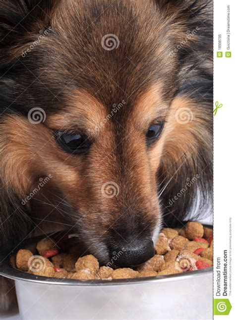dog eating from bowl dog eating food from a bowl royalty free stock photo