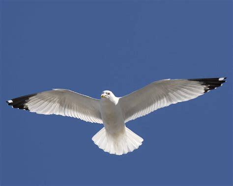 il gabbiano uccello immagini natura ala cielo uccello