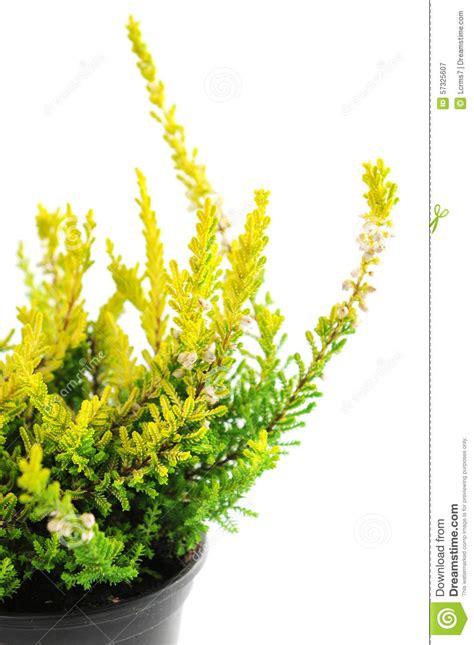 erica in vaso pianta gialla conservata in vaso di erica immagine stock