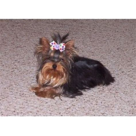 free yorkies michigan artistically bred terrier breeder in hickory corners michigan