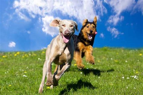best running dogs best sports breed and top pics