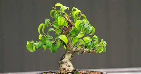 Bakalan Bonsai Beringin Dari Bibit indonesia tourism cara membuat bonsai mame beringin