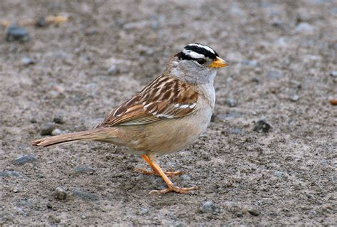 nw bird blog white crowned sparrow