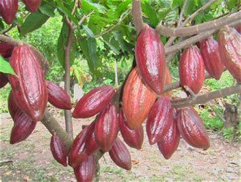 Benih Coklat buat sahabat cara budidaya tanaman kakau coklat yang baik