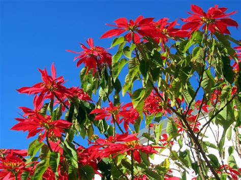 poinsettia euphorbia pulcherrima is a shrub or small tree