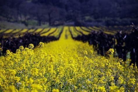 fiori di senape la senape non un ottimo condimento giardinaggio