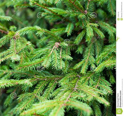 fir green green fir tree stock photos image 17035133