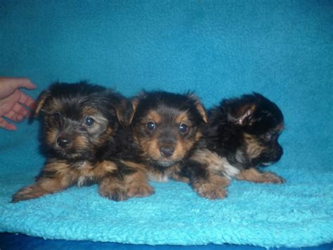 boy yorkie puppies for sale yorkie boy puppies sidcup kent pets4homes