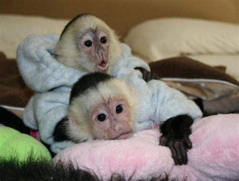 capuchin monkeys for adoption www pixshark com images galleries with a bite
