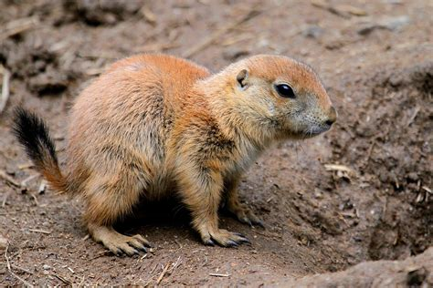 black tailed prairie black tailed prairie www pixshark images galleries with a bite