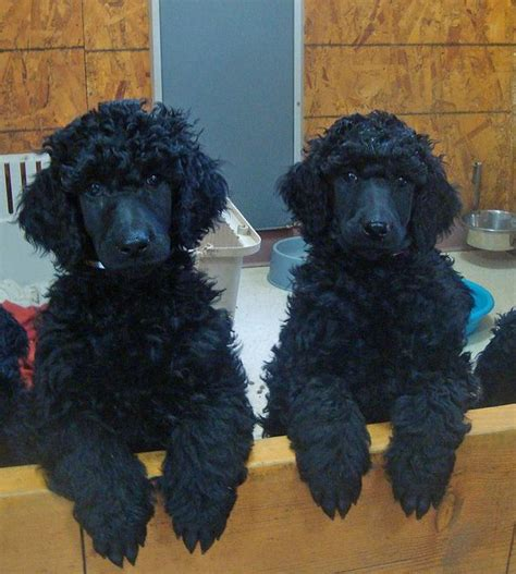 black poodle puppies two black standard poodle puppies dogs and puppies