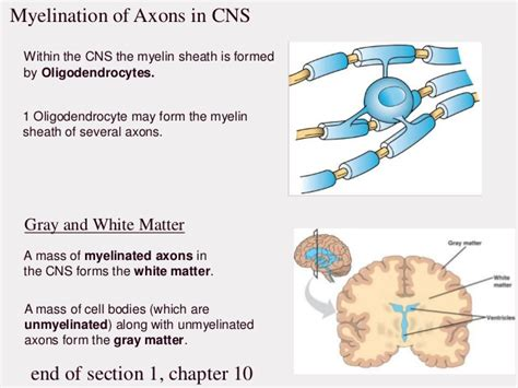 section 1 chapter 10 neurons
