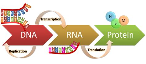protein biology dna translation and the genetic code 171 kaiserscience