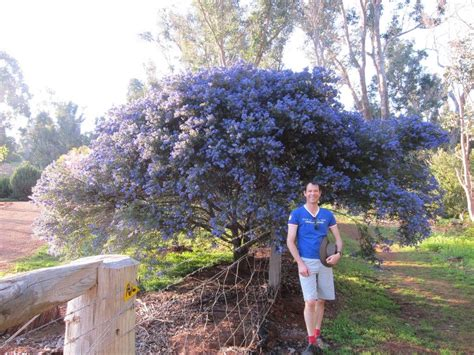 Ceanothus Blue Pacific 175mm Pot   Dawsons Garden World