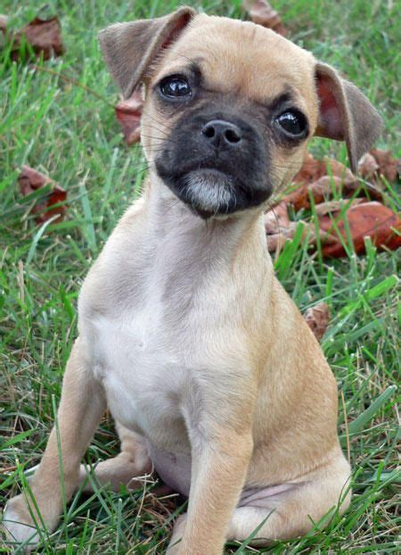 pug wire hair terrier 1000 images about puppy breeds i want on chugs the and photo galleries