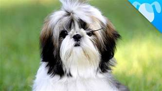 shih tzu facts youtube