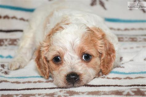 cavapoo puppies illinois cavapoo puppy for sale near southern illinois illinois 1d9ec4cc e6e1