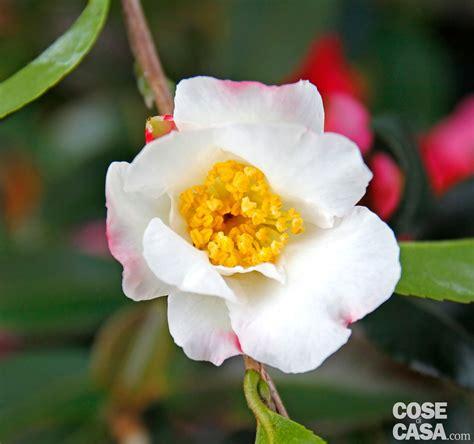 fiore camelia camellia sasanqua hino de gumo camelia invernale