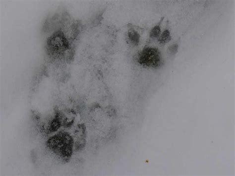 marderspuren im garten r 252 ben forum spuren im schnee