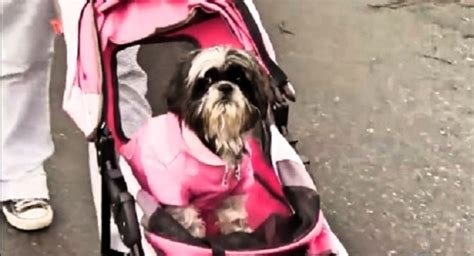 shih tzu congestive failure walks his with a bad in a stroller to make happy iheartdogs