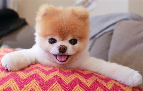 boo the pomeranian owner paid pets the s most animals