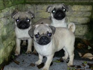pugs for free uk beautiful pugs for sale cambridge uk free classifieds muamat
