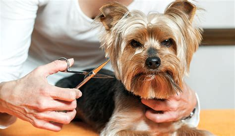 how to cut dogs hair s whiskers to trim or not to trim notebook