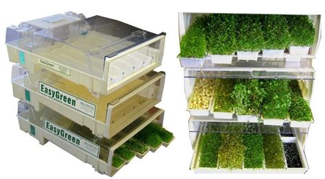Microgreens Benih Basil Sprout Micro Green Basil Kemangi Import growing micro greens and sprouts the easy way molecular recipes