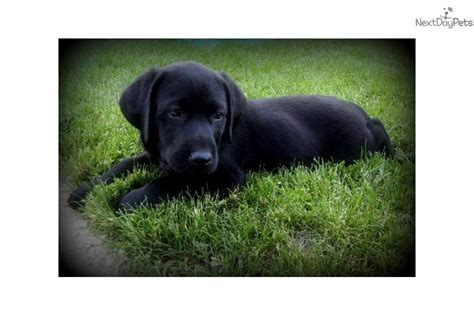 black lab puppies for sale mn dogs and puppies for sale and adoption oodle marketplace