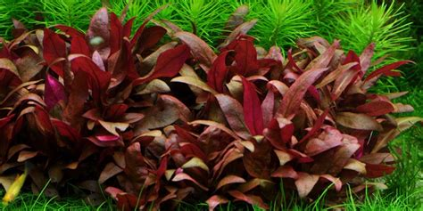 Tc Carpet Care by Alternanthera Reineckii Mini Tropica Aquarium Plants