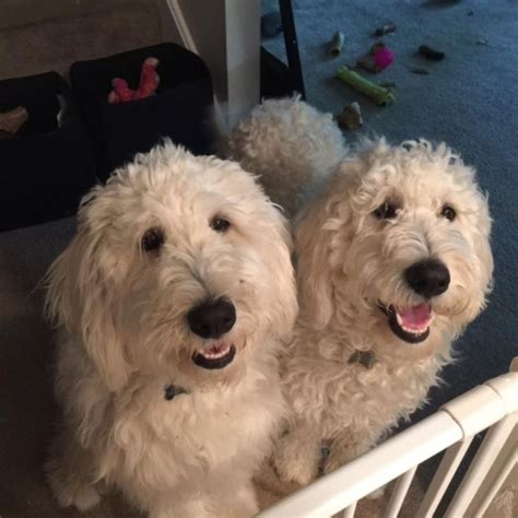 mini labradoodles michigan 17 best images about doods on f1b goldendoodle