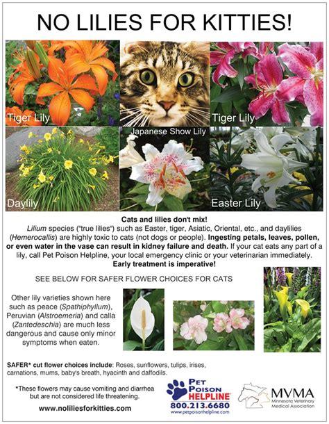 no lilies for kitties bellevue animal hospital