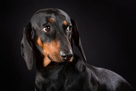 dachshund puppies indiana miniature dachshund puppies