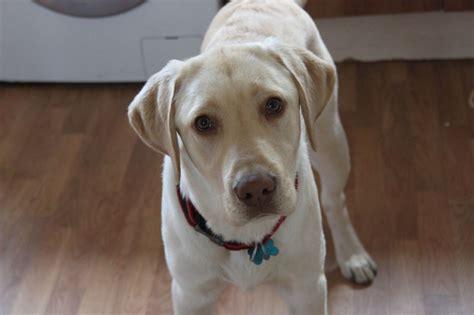 yellow lab puppies colorado yellow labrador retriever hook hshire pets4homes
