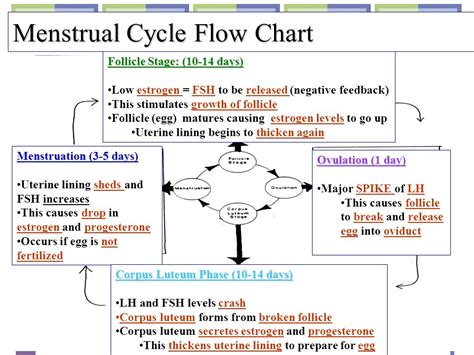 cycle of flowchart human reproductive systems ppt