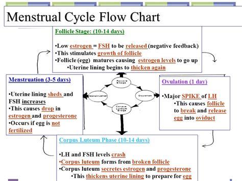 cycle of a flowchart period cycle flow chart menstrual cycle bioninja