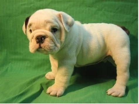 free puppies st cloud mn baby bulldog puppies for adoption pets from cloud minnesota
