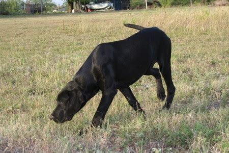 lab puppies for sale in south dakota hybrid retriever for sale in south dakota breeds picture