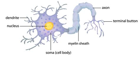 diagram of a brain cell learning rewires the brain