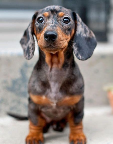 7 Facts On Dachshunds by Mini Ature Dachshunds Miniature Dachshund Smooth Haired