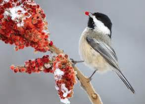 North American Backyard Birds Black Capped Chickadee Audubon Field Guide