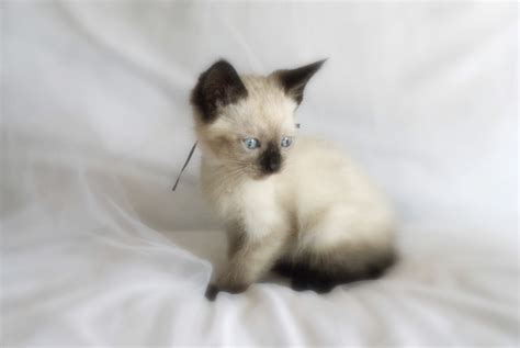 photo gallery of cute siamese kitten weneedfun