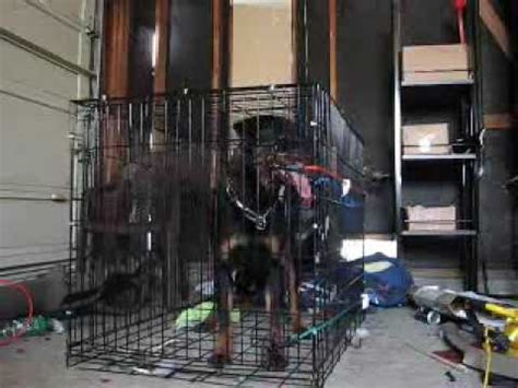 rottweiler crate rottweiler breaking out of crate