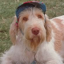 spinone italiano puppies spinone italiano puppies for sale