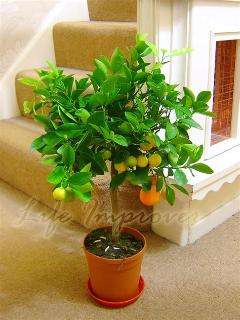 indoor fruit plants 1 dwarf standing calamondin citrus orange fruit tree