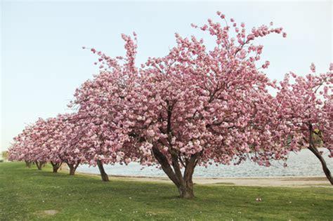 cherry blossom tree 3d model free 30 astonishing cherry blossom pictures naldz graphics