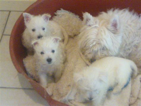 fluffy puppies for sale fluffy puppies for sale