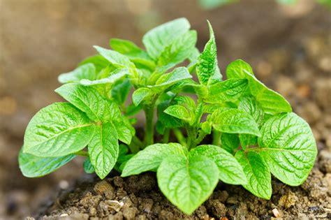 wann kartoffeln pflanzen kartoffeln pflanzen 187 wann ist der beste zeitpunkt
